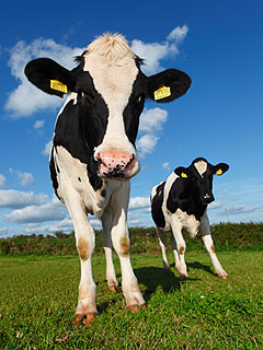 Olympic Opening Ceremony Will Include ... Cows and Sheep!