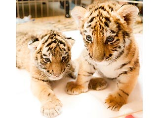 Aww! Tiger Cub Meets Her New BFF| Baby Animals, Cute Pets, Exotic Animals & Pets, Zoo Animals