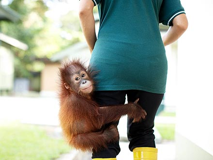 Orphaned Baby Orangutan Finds Refuge After Rescue| Baby Animals, Cute Pets, Exotic Animals & Pets
