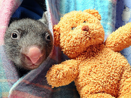 Hello! Orphaned Baby Wombat Comes Out to Play