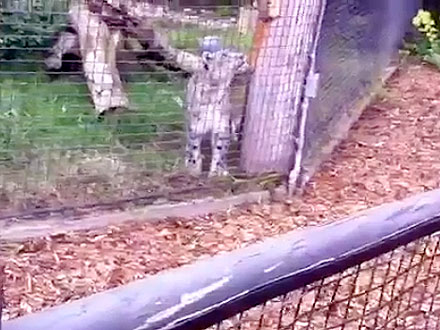 Caught in the Act! Zoo Leopard Eats Squirrel
