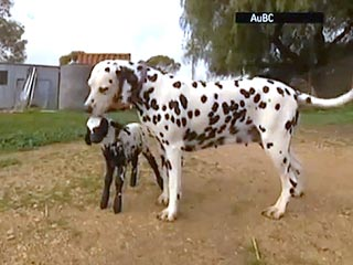 Spot the Difference? Maternal Dalmatian Adopts Lamb