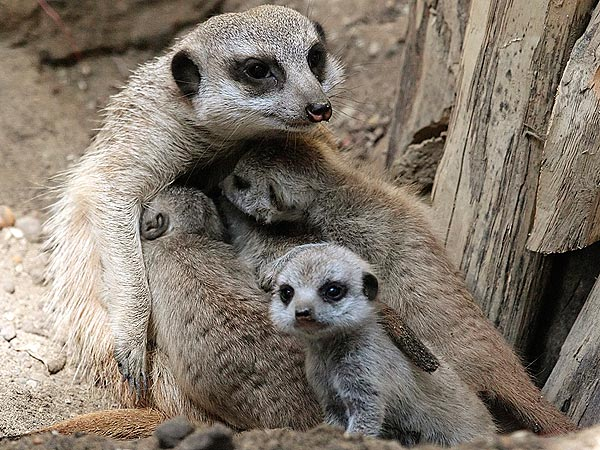 Aww! Baby Meerkats Hug Mom| Baby Animals, Cute Pets, Zoo Animals