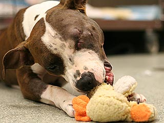 Pit Bull Shot by New York Police Recovering, Not Ready for New Home &#8211; Yet