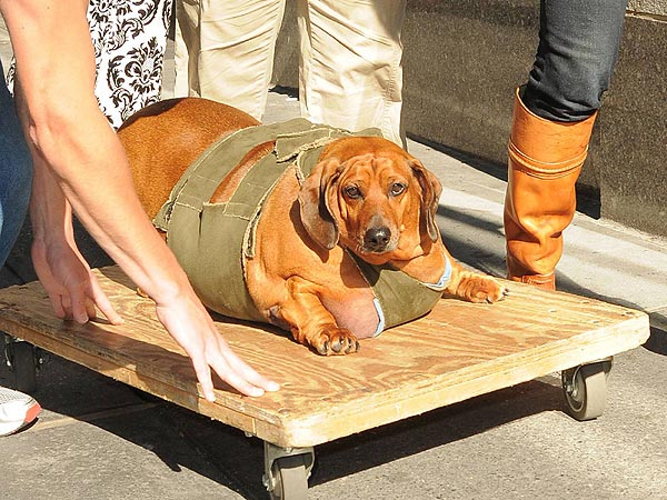 Fat Dachshund Obie Weighs 77 Pounds