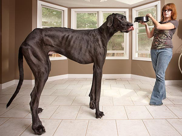 Guinness World Records 2013 World's Tallest Dog