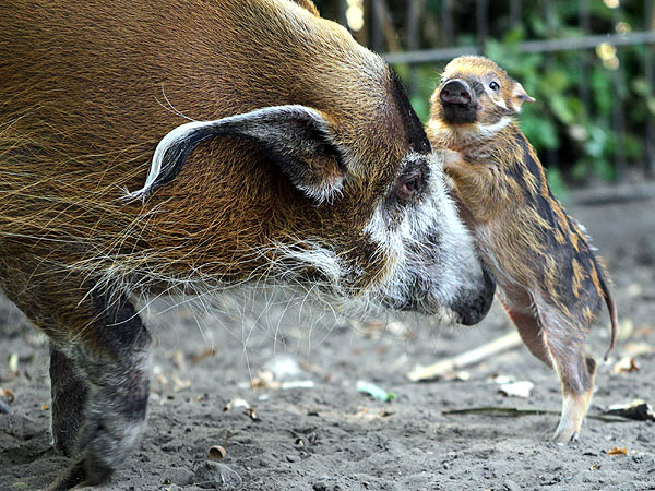 Aww! Newborn Red River Hog Nuzzles Its Mother| Baby Animals, Cute Pets, Zoo Animals