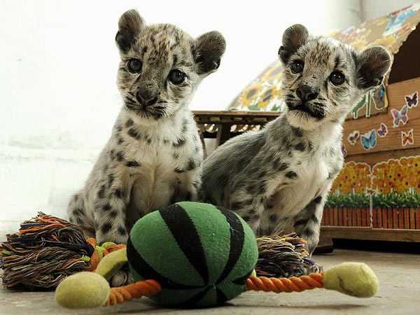 Two Cute! Twin Snow Leopard Cubs Hang Out with Their Toys