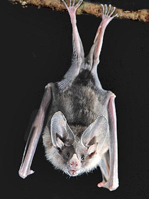 Bats Think About Sex: Royal Society B Study