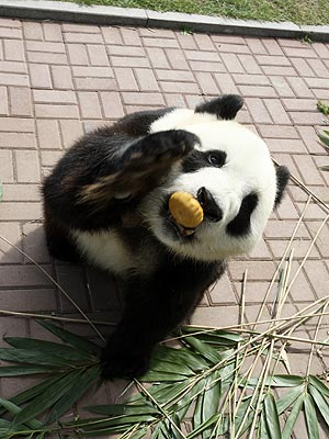 Panda Eats Mooncake for Mid-Autumn Festival| Baby Animals, Cute Pets, Zoo Animals