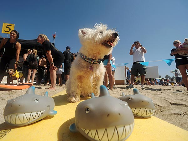 Cowabunga! Dogs Surf for a Good Cause| Animal Charities, Dogs