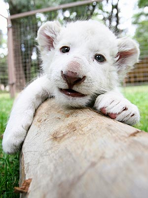 Hello! Newborn Lion Cub Is Already a Model