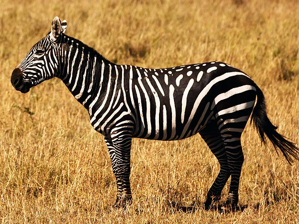 Kenya Zebra Has Spotted Coat