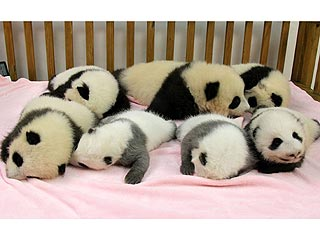 Seven Baby Pandas on Sleep Parade!