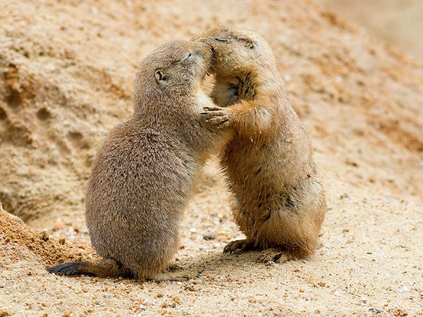 Let&#39;s Make Out! Prairie Dogs in Love