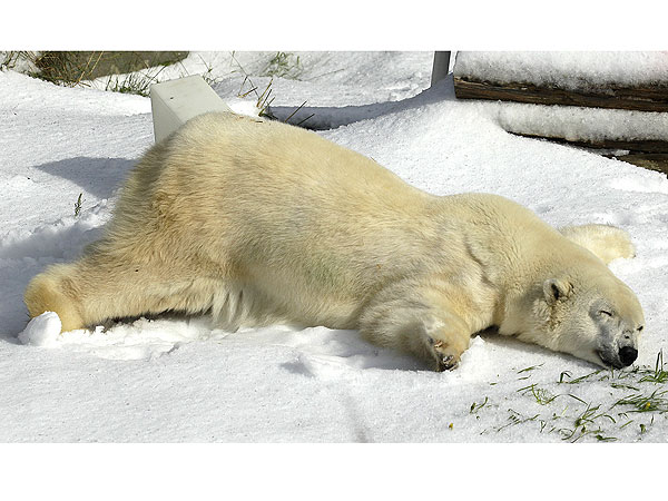 Ahhh! Polar Bear Falls for Snow
