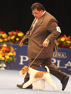 Wire Fox Terrier Is the Top Dog at National Dog Show – Again