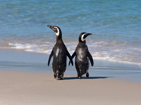 Penguin Couple Together for 16 Years (& Counting!)