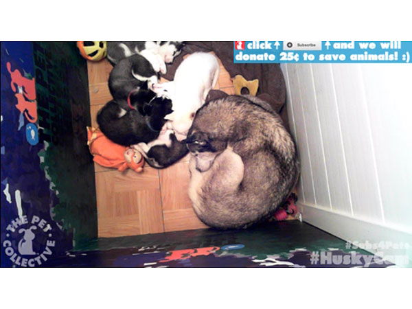HuskyCam Live Stream Is the Canine Version of Kitten Cam