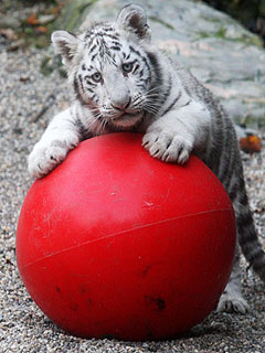 PHOTO: White Tiger Cubs Tackle Ball – and Each Other!