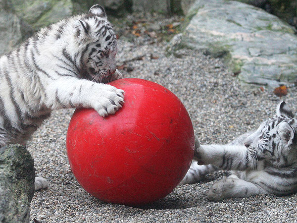 PHOTO: White Tiger Cubs Tackle Ball – and Each Other!| Baby Animals, Zoo Animals