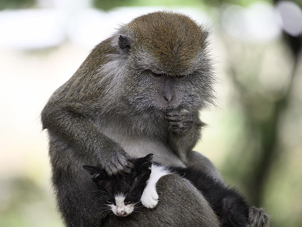 Monkey in Indonesia Adopts Kitten