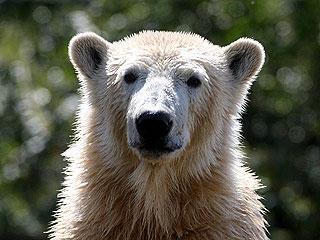 Knut the Polar Bear Returns – as a Lifelike Sculpture