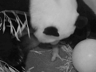 Giant Panda Mei Xiang Gives Birth at National Zoo!
