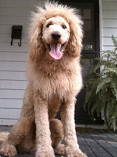 Doh! Woman Mistakes Labradoodle for Escaped Baby Lion (Photo)