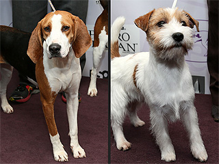 Are You Into Two New Breeds Competing at Westminster?