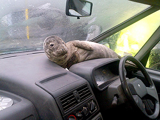 PHOTO: Seal Pup Escapes – and Ends Up on Car Dashboard!