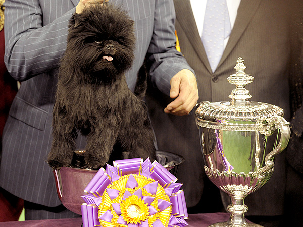 Westminster Names Affenpinscher Banana Joe Best in Show