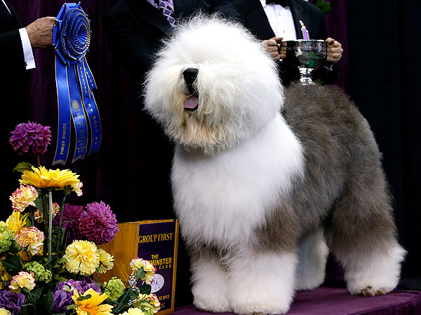 20 Silly Pictures Of Some Of The Fanciest Show Dogs I M