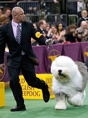 What to Know About Westminster&#39;s Reserve Best in Show, Swagger| Dogs, Westminster Kennel Club Dog Show