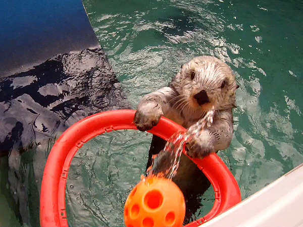 Eddie the Oregon Zoo Sea Otter Plays Basketball to Relieve Arthritis