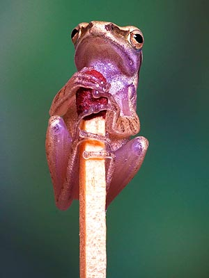 Tiny Frog on Matchstick: Photo