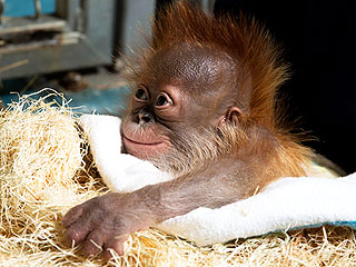 PHOTO: Baby Orangutan Smiles for Cameras After Risky Birth