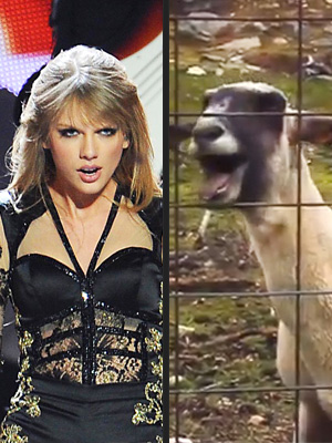 Taylor Swift Loved Screaming Goat Viral Videos