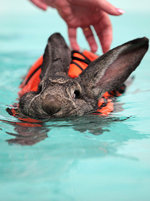 Rabbit Swims to Help Arthritis: Photo