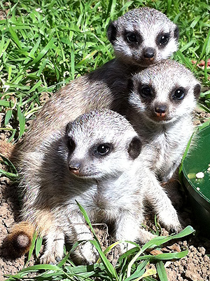 Oakland Zoo Meerkat Pups: Photo