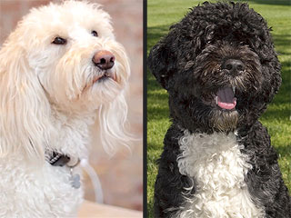 Puppy Love! Bo Obama Gets Asked Out on Doggy Date