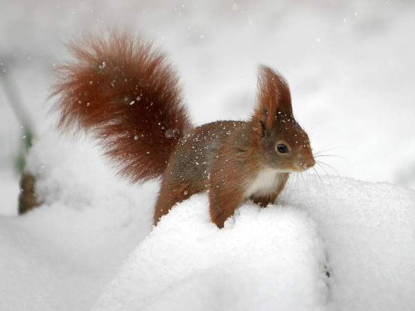 Red squirrel in Germany Snow: Photo