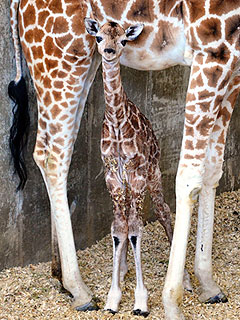 The Daily Treat: Public Names Rare Baby Giraffe Sandy Hope