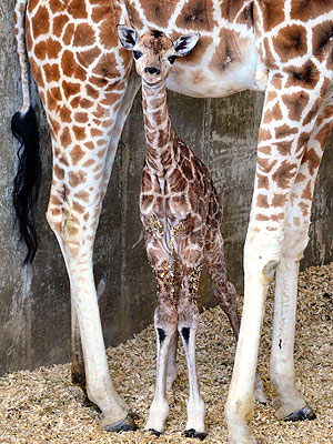 Baby Giraffe Named Sandy Hope in Honor of Newtown Tragedy: Photo