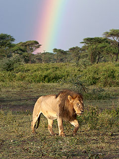 The Daily Treat: Rainbow Lights the Way for Lion