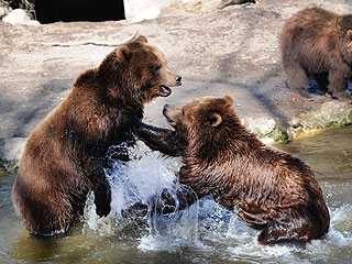 The Daily Treat: Brown Bears Get Into Water Fight