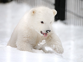 PHOTO: Orphaned Polar Bear Cub Is Sticking His Tongue Out at You