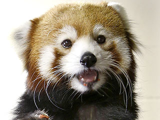 PHOTO: Red Panda Just Wants to Say Hey
