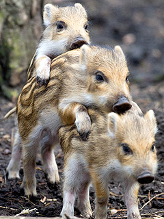 The Daily Treat: The Three Little Pigs Never Looked This Cute