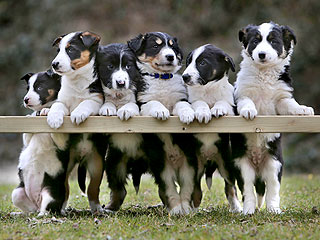 Aww: Border Collie Puppies Pose for Family Portrait